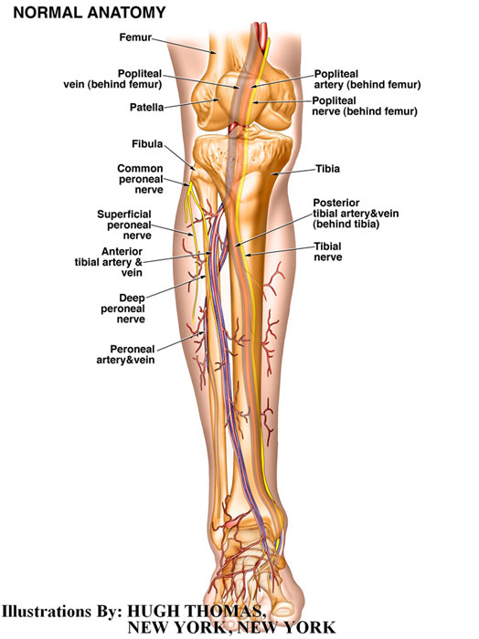 Normal Anatomy of Leg